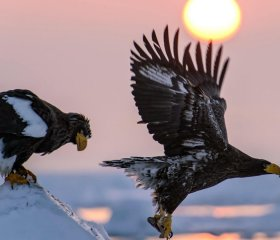 WhiteTailed Eagles
